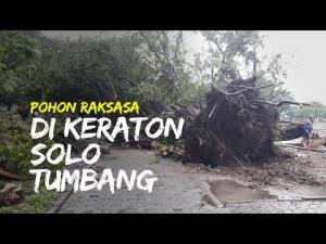 Pohon Raksasa di Keraton Solo Tumbang Diterjang Hujan Deras dan Angin Kencang